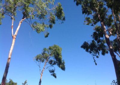 7-Eucalyptus ciel_8